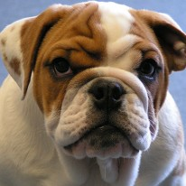 BRITISH BULLDOG<br>